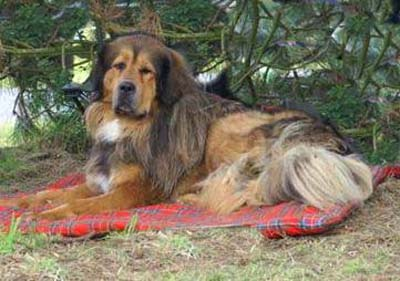 Do Khyi mit Fehlfarbe, Tibetan Mastiff with wrong color