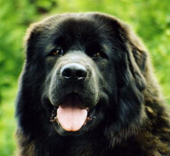 Do Khyi Hündin Marco Polos King of Tibet Chota Dari, Tibetan Mastiff female Marco Polos King of Tibet Chota Dari